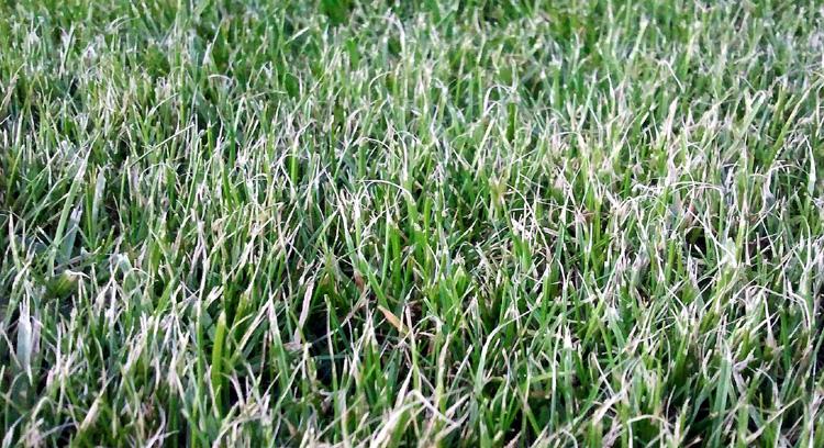 Rozstrapkaná tráva po kosení tupou rotačnou kosačkou