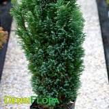 Chamaecyparis lawsoniana Ellwood´s Gold