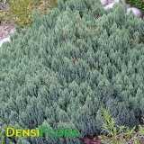 Juniperus horizontalis Blue Forest