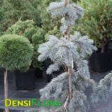 Picea pungens Coster