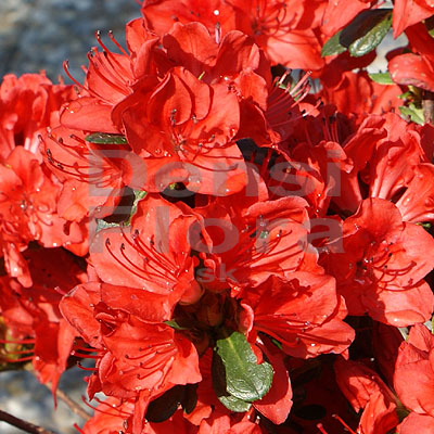"Azalea japonica ""Orange Beauty"""