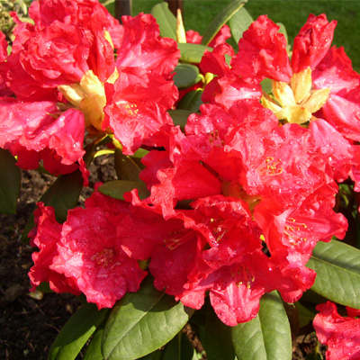 Rhododendron repens Scarlet Wonder