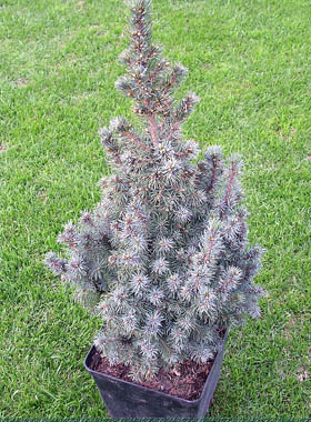 Picea glauca Blue Wonder