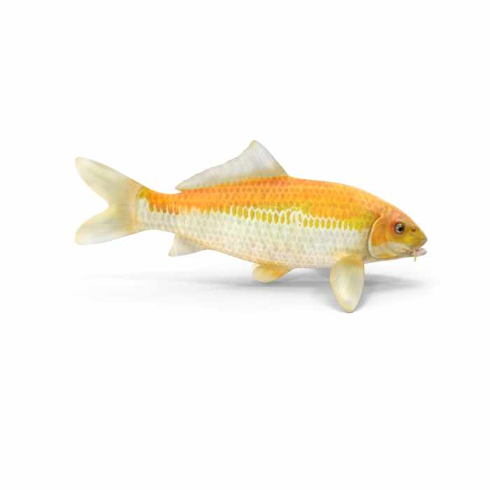 Yellow Koi Ogon Fish